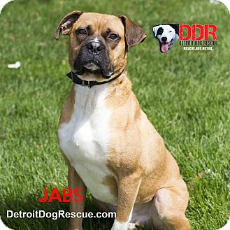 Boxer Mix Dog for adoption in St. Clair Shores, Michigan - Jabs