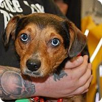 Adopt A Pet :: Sheldon - Brooklyn, NY
