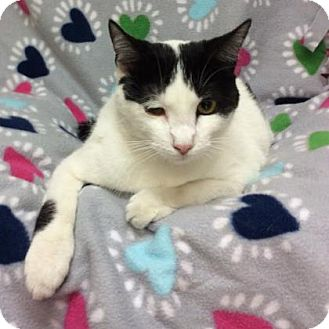 Domestic Shorthair Cat for adoption in Tampa, Florida - Bessie