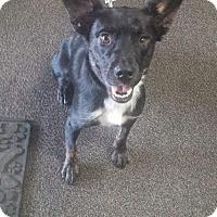 Adopt A Pet :: Bella - Fenton, MO