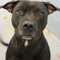 Adopt A Pet :: Dennis - Lafayette, IN