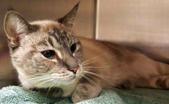 Siamese/Domestic Shorthair Mix Cat for adoption in Powder Springs, Georgia - SAMAR