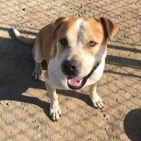 Adopt A Pet :: Sultan - Visalia, CA