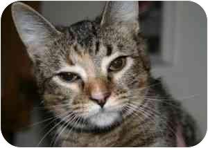 Domestic Shorthair Cat for adoption in Greensboro, Georgia - Suri