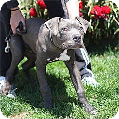 American Pit Bull Terrier Mix Puppy for adoption in Berkeley, California - Horace