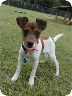 Jack Russell Terrier/Terrier (Unknown Type, Small) Mix Puppy for adoption in Madison, Alabama - Angel