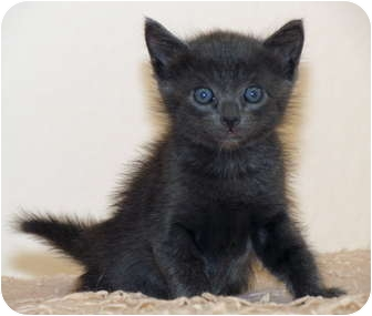 Domestic Shorthair Kitten for adoption in La Jolla, California - Stoli