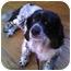 Photo 2 - Spaniel (Unknown Type) Mix Dog for adoption in Schaumburg, Illinois - Oreo