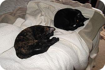 Domestic Shorthair Cat for adoption in Jacksonville, Florida - Hops