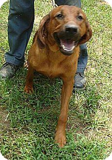 Hound (Unknown Type)/Bloodhound Mix Dog for adoption in Hagerstown, Maryland - Patty