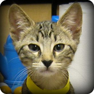 Domestic Shorthair Kitten for adoption in Weatherford, Texas - Loudy
