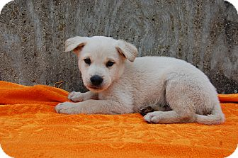 Border Collie Mix Puppy for adoption in North Judson, Indiana - Ghost