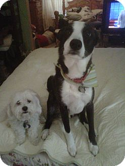 Border Collie Dog for adoption in Carey, Ohio - KIRBY