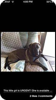 Labrador Retriever/German Shepherd Dog Mix Dog for adoption in Bluff city, Tennessee - SOPHIE-FAITHFUL COMPANION!!!