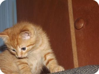 Domestic Shorthair Kitten for adoption in Trevose, Pennsylvania - Copper