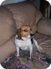 Beagle Dog for adoption in Coeburn, Virginia - Hunter