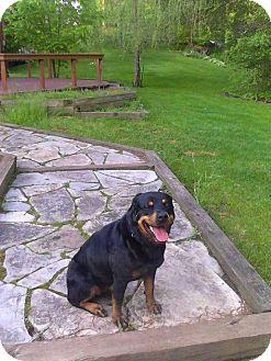 Rottweiler Dog for adoption in Milan, Michigan - Roxy
