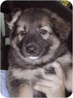 Norwegian Elkhound/Siberian Husky Mix Puppy for adoption in El Segundo, California - Tinker Bell