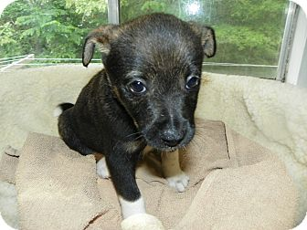 Terrier (Unknown Type, Small) Mix Puppy for adoption in Waldorf, Maryland - Moe