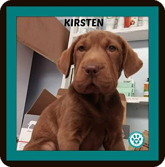 Labrador Retriever/Mastiff Mix Puppy for adoption in Kimberton, Pennsylvania - Kirsten
