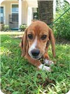 Beagle Mix Dog for adoption in Port St. Joe, Florida - DENTON