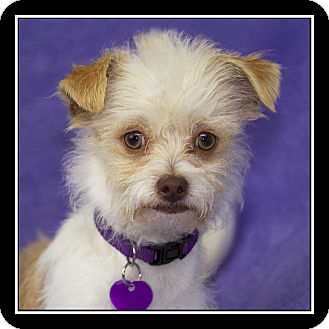 Maltese/Yorkie, Yorkshire Terrier Mix Puppy for adoption in San Diego, California - Dominick