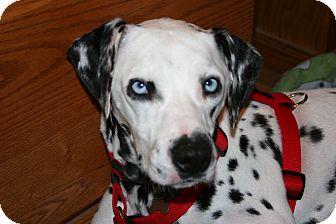 Dalmatian Mix Dog for adoption in Lodi, California - Lola