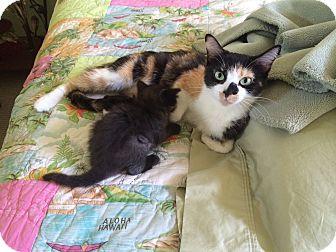 Calico Cat for adoption in Monrovia, California - Tiger