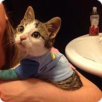 Adopt A Pet :: Ziggy Stardust - St. Louis, MO