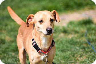 Chihuahua/Dachshund Mix Dog for adoption in Meridian, Idaho - Charlie