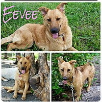 Adopt A Pet :: Eevee - Fort Worth, TX
