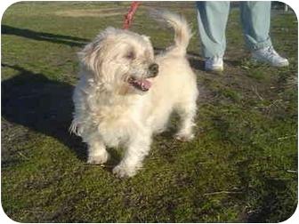 Wheaten Terrier/Westie, West Highland White Terrier Mix Dog for adoption in Freeport, New York - Pineapple