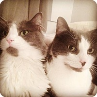 Adopt A Pet :: Fluffy Billie and her Buddy Benny! - Brooklyn, NY
