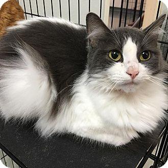 Domestic Shorthair Kitten for adoption in Westminster, California - Baby Girl