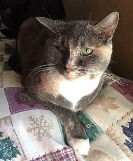 American Shorthair Cat for adoption in Cameron, North Carolina - Apple