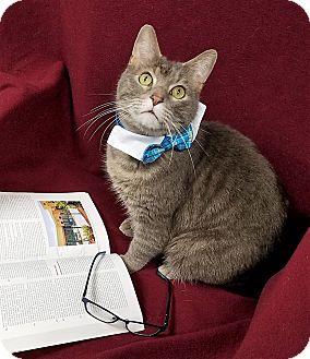 Domestic Shorthair Cat for adoption in Lansing, Kansas - Wilson