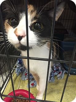 Calico Cat for adoption in Schererville, Indiana - Cali