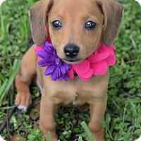 Adopt A Pet :: Paisley - Denver, CO