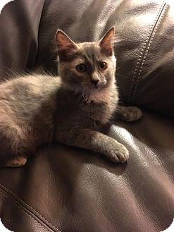 Domestic Mediumhair Kitten for adoption in Butner, North Carolina - Bea