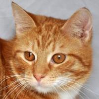 Domestic Shorthair/Domestic Shorthair Mix Cat for adoption in Tilton, Illinois - Pumpkin