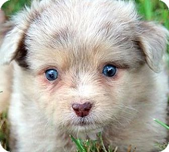 "Miniature Poodle/Australian Shepherd Mix Puppy for adoption in Wakefield, Rhode Island - MEG(OUR ""AUSSIE-POO"" BEAUTIFUL"
