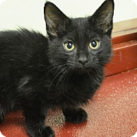 Domestic Shorthair Kitten for adoption in Springfield, Illinois - Grits