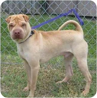 Shar Pei Dog for adoption in Houston, Texas - Squirrel