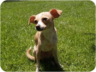 Chihuahua Dog for adoption in El Cajon, California - Cortney