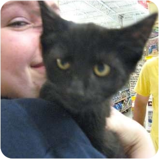 Domestic Shorthair Kitten for adoption in Plymouth, Massachusetts - Blackie
