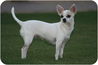 Chihuahua Dog for adoption in Scottsdale, Arizona - Cami