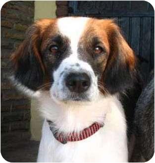 Cavalier King Charles Spaniel/Border Collie Mix Dog for adoption in Chula Vista, California - Annie