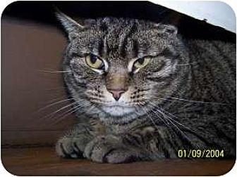 Domestic Shorthair Cat for adoption in Salem, Ohio - Wynn