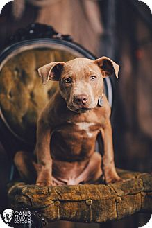 Pit Bull Terrier Puppy for adoption in Portland, Oregon - Chester