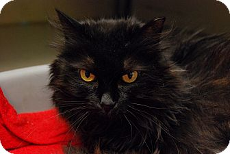 Domestic Longhair Cat for adoption in Chicago, Illinois - Bunnie Page